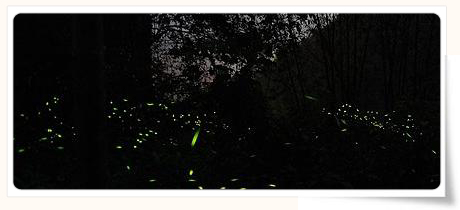 firefly watching