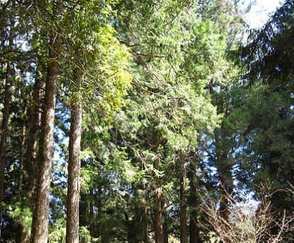 高雄市小港區珍貴樹木
