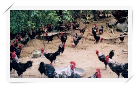 Moon World Native Chicken