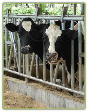 完善無污染的乳牛養殖