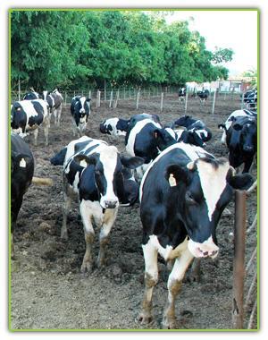 牛群悠閒自在的休息