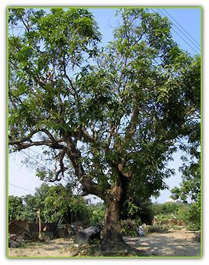 嘉誠里北勢巷內的百年芒果樹,民國九十年代已砍伐