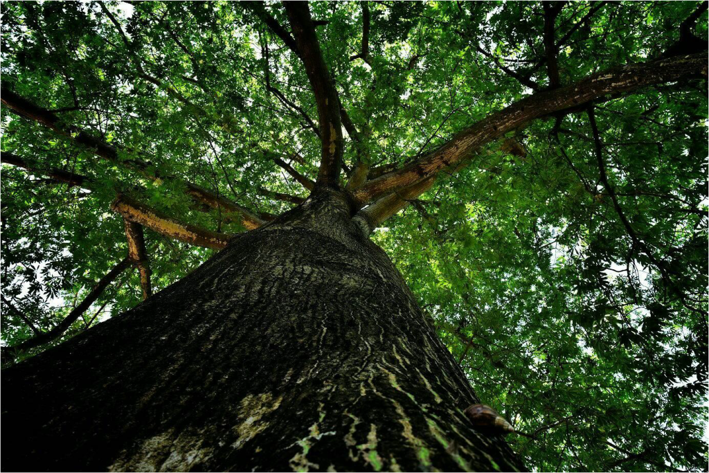 夏天吉貝木棉樹