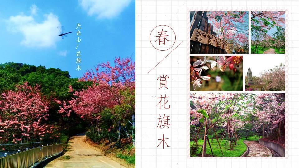 春賞花旗木