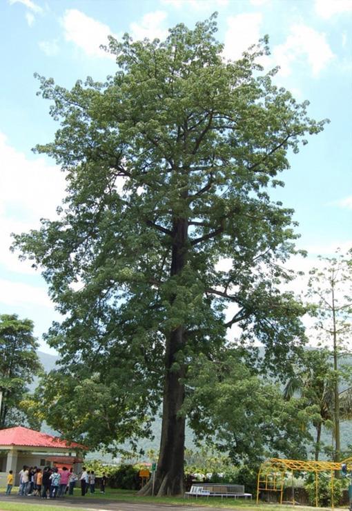 吉貝木棉樹