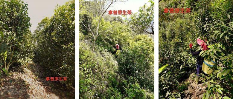 拿普原生茶有機茶園位於人煙罕至的藤枝山區